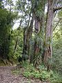 Starr 020803-0029 Freycinetia arborea.jpg