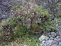 Starr 030628-0128 Leucaena leucocephala.jpg