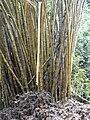 Starr 030807-0058 Bambusa vulgaris.jpg