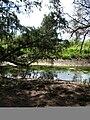 Starr 050414-6338 Casuarina equisetifolia.jpg