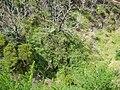 Starr 050815-7382 Rubus glaucus.jpg