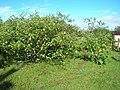 Starr 060306-6596 Solanum torvum.jpg
