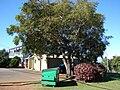 Starr 061223-2714 Jacaranda mimosifolia.jpg