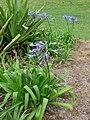 Starr 070308-5364 Agapanthus praecox subsp. orientalis.jpg