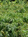 Starr 080610-8382 Cyperus involucratus.jpg