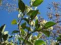 Starr 080812-9665 Psydrax odorata.jpg