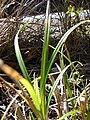 Starr 090213-2470 Unknown cyperaceae.jpg