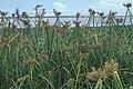 Starr 990604-0967 Cyperus pennatiformis var. bryanii.jpg