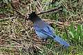 Stellers Jay (Cyanocitta Stelleri) (9360443774).jpg