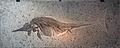 StenopterygiusquadricissusBerlinAquarium.jpg