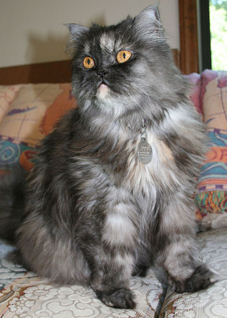 Persian cat - A smoke Persian with moderate features.