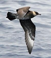 Stercorarius pomarinusPCCA20070623-3985B.jpg
