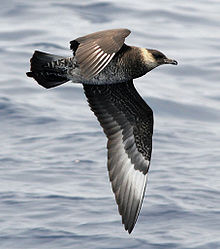 A brown bird with a tan-yellow neck stripe flies right with its wings down over the ocean