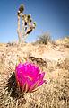Strawberry Hedgehog Cactus Flower (19788989970).jpg