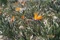 Strelitzia flowers (10221424075).jpg