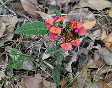 Strettle Road Kennedia coccinea.jpg