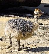 Struthio camelus - Strausskueken
