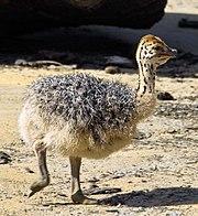 Как сообщила администрация учреждения, это, в частности, первые за четыре года птенцы страусов эму.  Яйца.