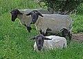 Suffolk rams at Harbury Fields Farm, in Harbury, Warwickshire.jpg