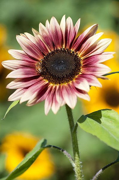 "File:Sunflower ""Strawberry Blonde"" (3931552086).jpg"