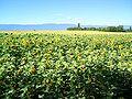 Sunflower field Geneva.JPG
