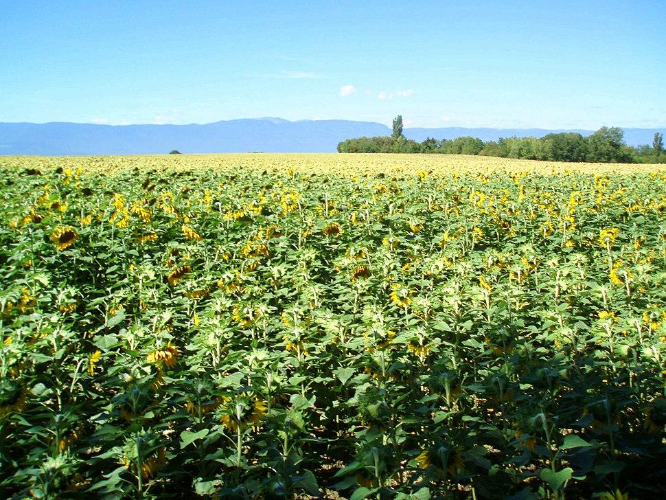Sunflower field Geneva