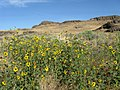 Sunflowers near Washtucna (3936749786).jpg