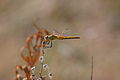 Sympetrum fonscolombii - Calanque de Port Miou 5.jpg