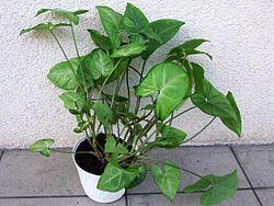 Syngonium podophyllum a1.jpg