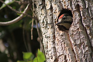 Syrian woodpecker - Matured chick of a Syrian woodpecker, peeking out of its nesting hole
