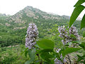 Syringa vulgaris Bulgaria 6.jpg