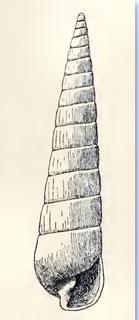 <i>Colsyrnola brunnea</i> species of mollusc