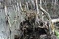 Szombierki obszar ruderalny korzenie 18.09.2011 pl.jpg
