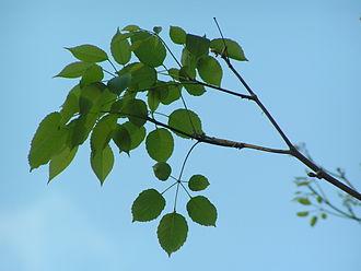 Handroanthus impetiginosus - Foliage