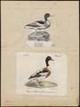 Tadorna cornuta - 1700-1880 - Print - Iconographia Zoologica - Special Collections University of Amsterdam - UBA01 IZ17600279.tif