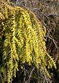 Taiwania cryptomerioides - Quarryhill Botanical Garden - DSC03494.JPG