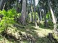 Tanzawa cedars 2.jpg