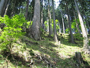 Tanzawa Mountains - Japanese cedar forest in the Tanzawa Mountains