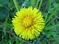 Taraxacum officinale head1 (16350804956).jpg