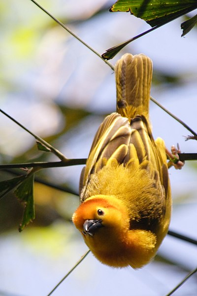 Taveta Golden-weaver.JPG