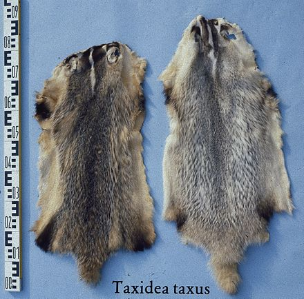 Badger pelts Taxidea taxus (American badger) fur skin.jpg