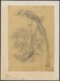 Tchitrea mutata - 1868 - Print - Iconographia Zoologica - Special Collections University of Amsterdam - UBA01 IZ16500407.tif