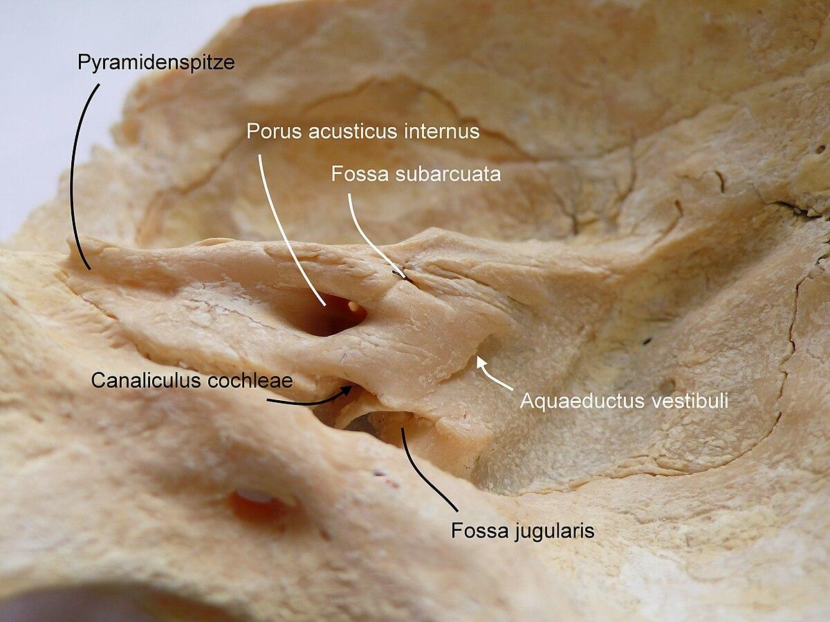 Innerer Gehörgang – Wikipedia