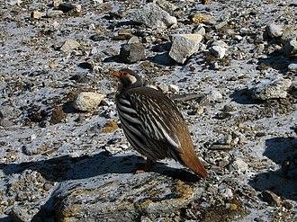 Snowcock - Tetraogallus tibetanus