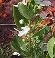Teucrium integrifolium flower.jpg