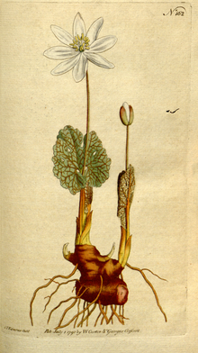 The Botanical Magazine, Plate 162 (Volume 5, 1792).png