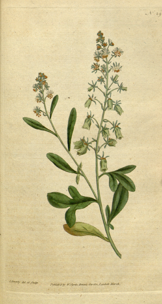 Reseda odorata - Image: The Botanical Magazine, Plate 29 (Volume 1, 1787)
