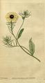 The Botanical Magazine, Plate 35 (Volume 1, 1787).png