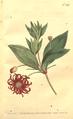 The Botanical Magazine, Plate 439 (Volume 13, 1799).png