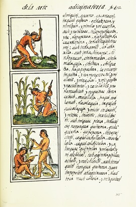 Cultivation of maize, shown in the Florentine Codex (1576) drawn by an indigenous scribe, with text in Nahuatl on this folio The Florentine Codex- Agriculture.tiff